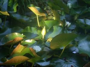 LotusBlossomdarker